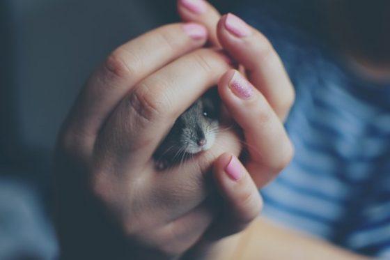 手で包まれているハムスター