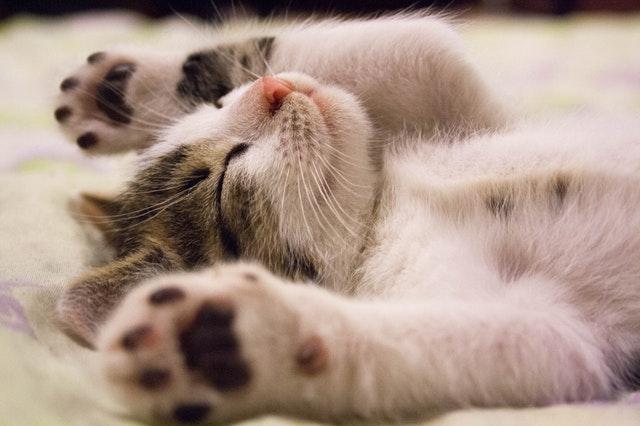 万歳をする猫