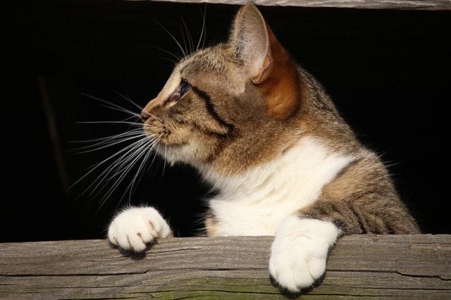 向こう側を見る猫