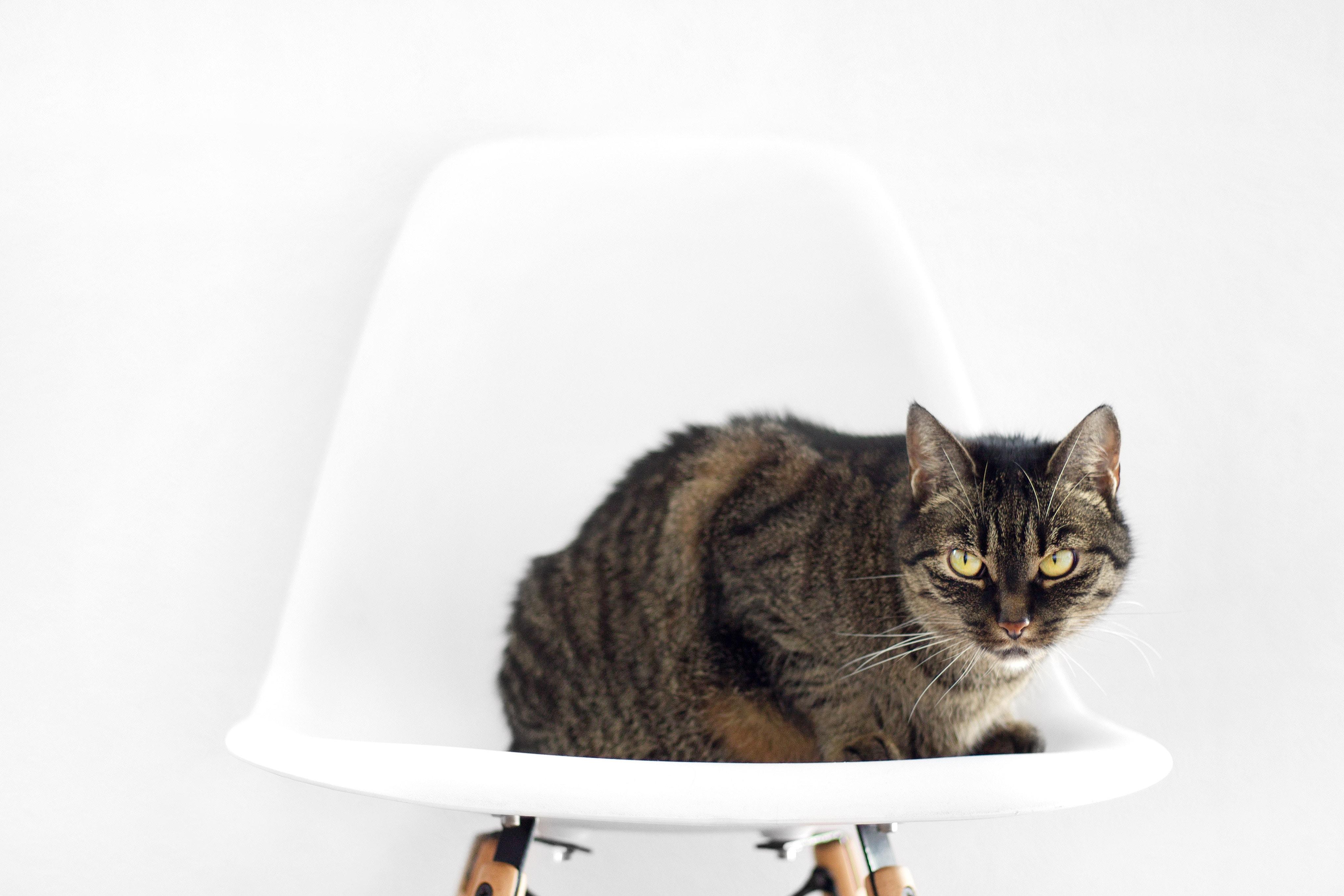 白い椅子の上に乗っている猫