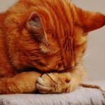ごめん寝をする茶猫