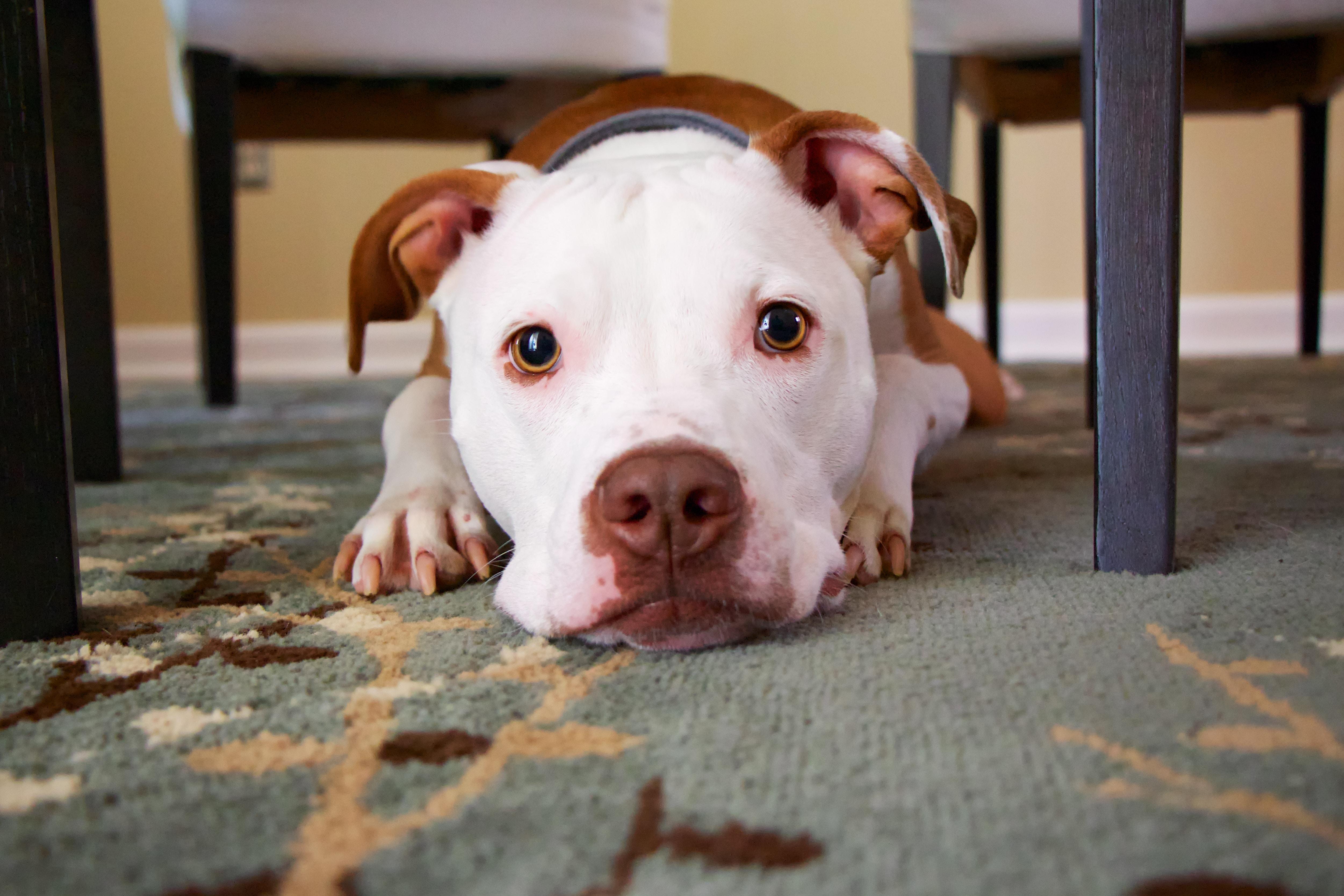 机の下の犬