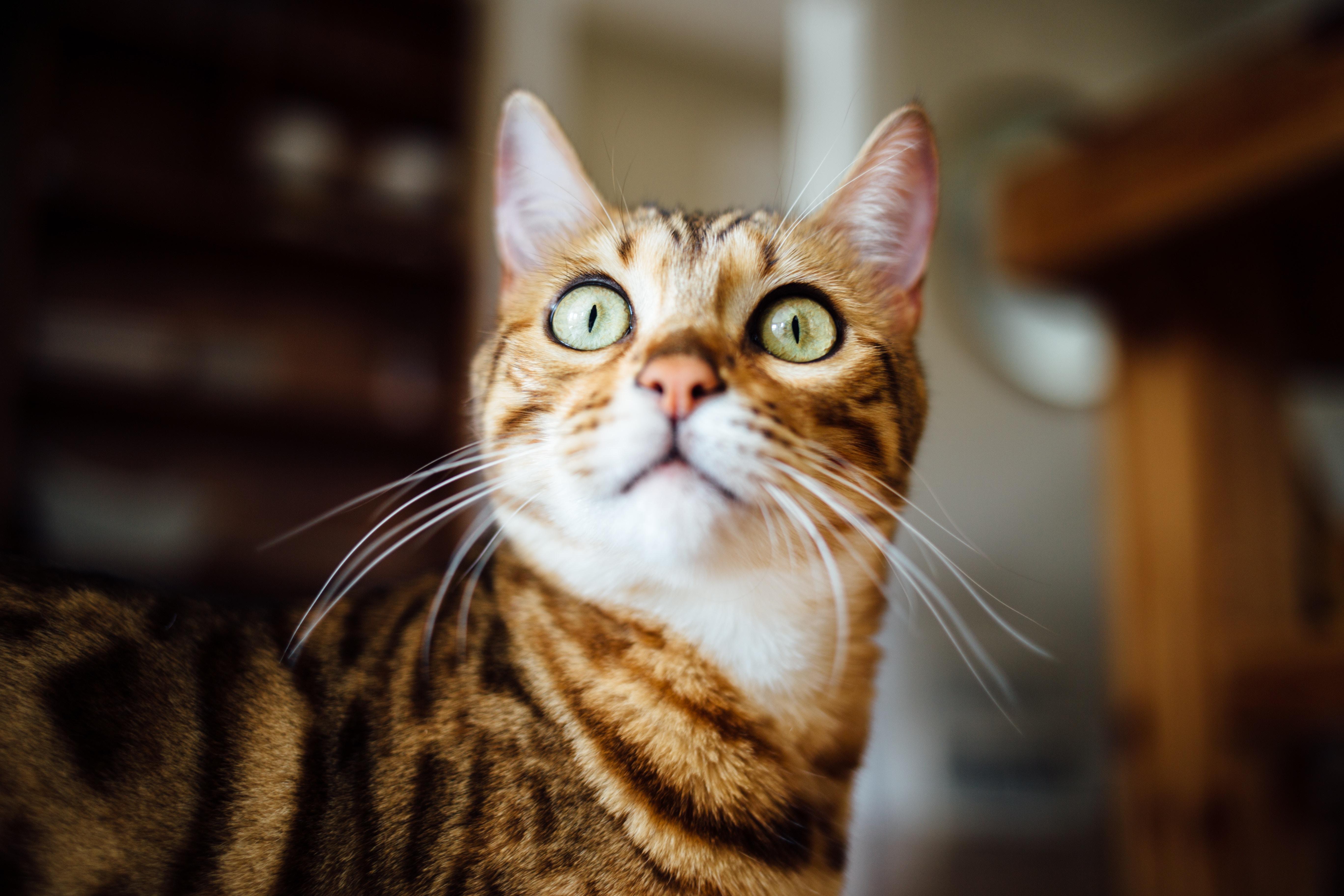 どこかを見つめるベンガルキャット