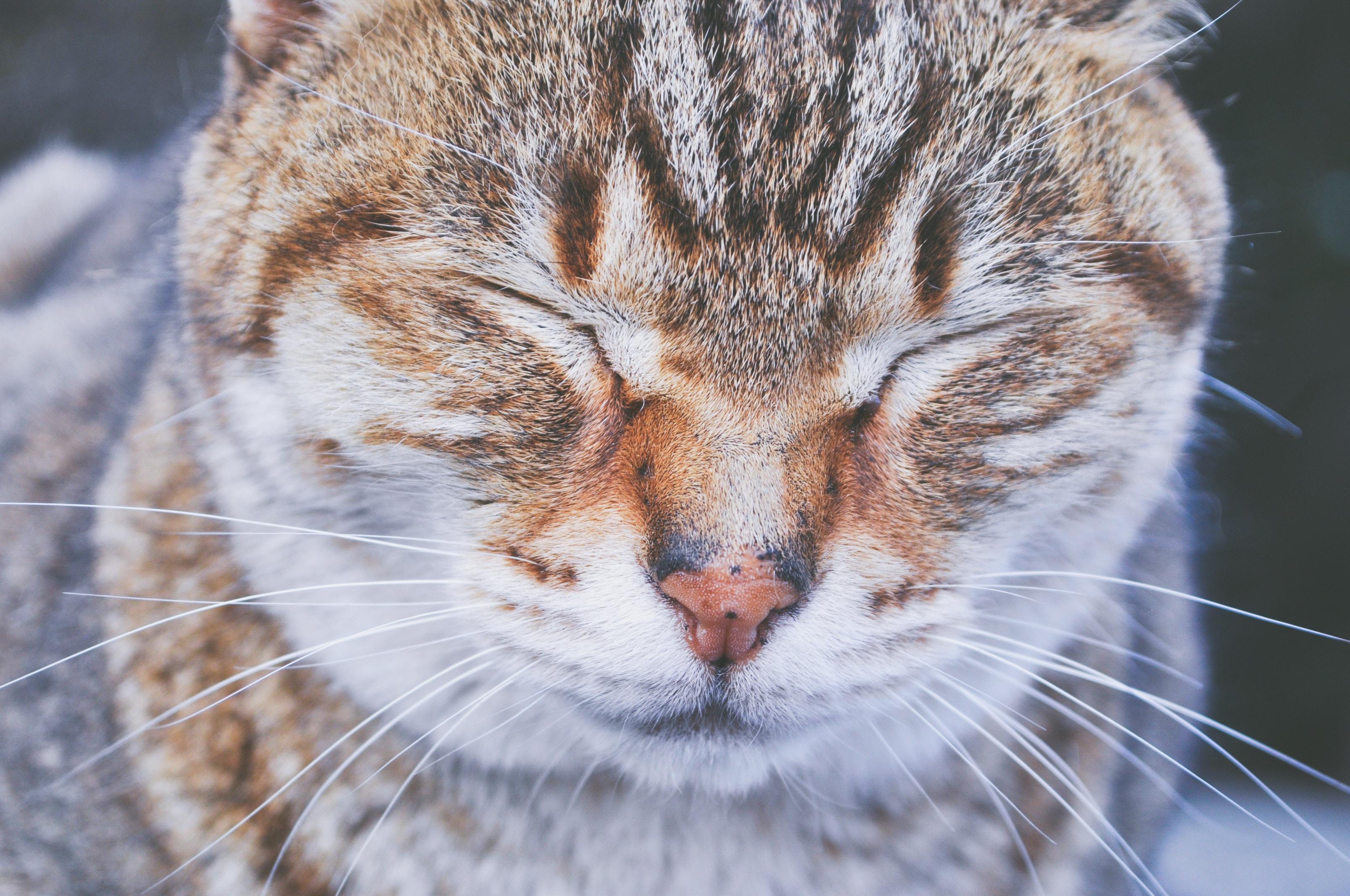 くしゃくしゃな顔の猫