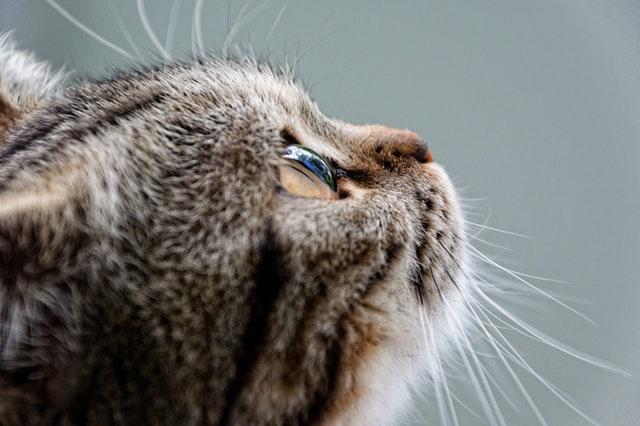 つぶらな瞳で上を見上げる猫