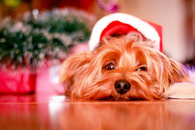 クリスマス帽子犬