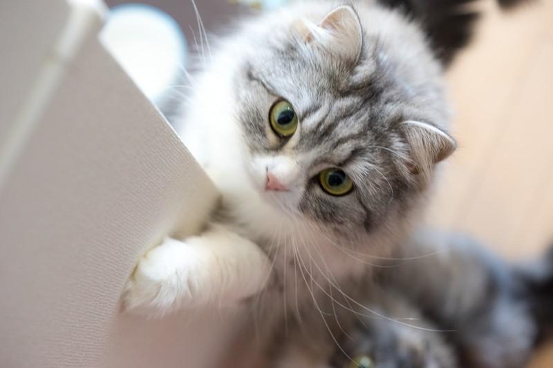 ご飯をねだる猫
