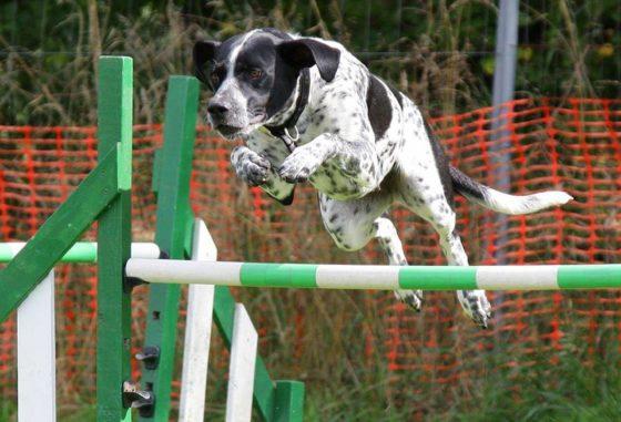 競技会に参加する犬