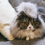 毛玉モヒカン猫