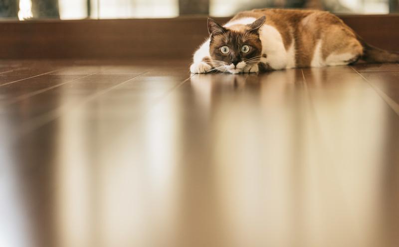 フローリングの上で獲物を狙う猫