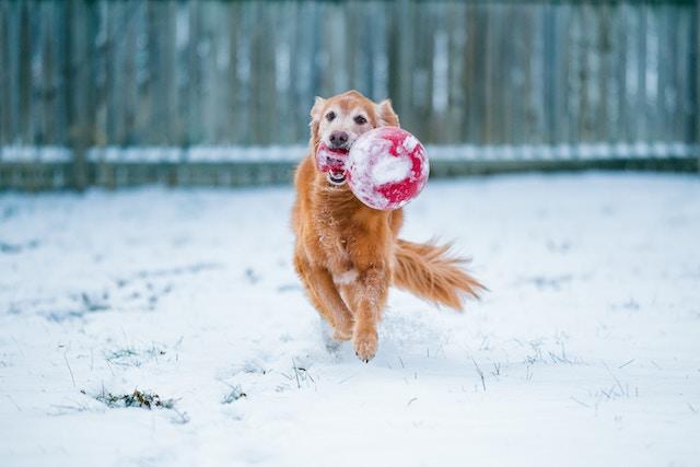 雪の中で走るゴールデン