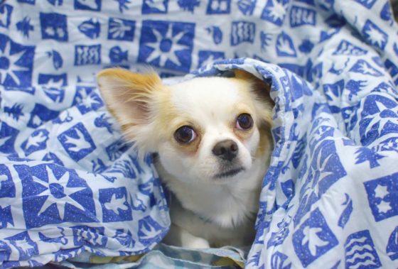私が飼っている愛犬チワワ