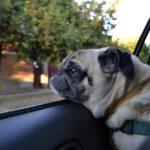 車内のパグ