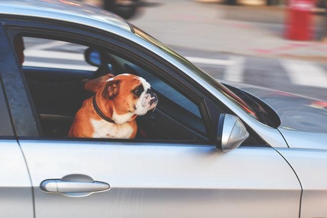 悲しそうに車の窓から眺めるブルドッグ