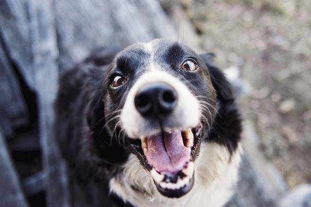 楽しそうにこちらを見つめる犬
