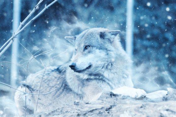 オオカミが人間に寄り添う