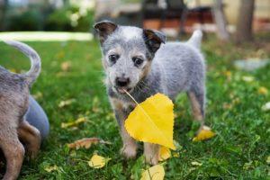 dog eating leaf