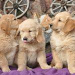 ゴールデンのパピー(幼犬)たち