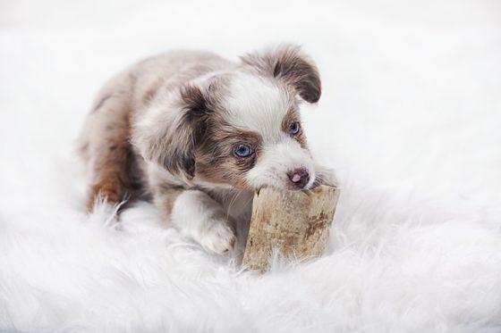 玩具を甘噛みする幼犬