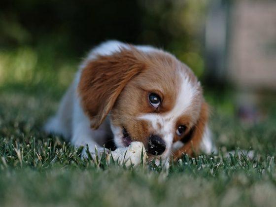 骨のおやつをかじる幼犬