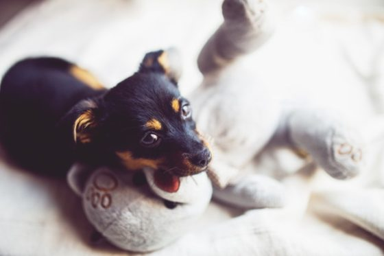 噛む玩具遊びをする幼犬