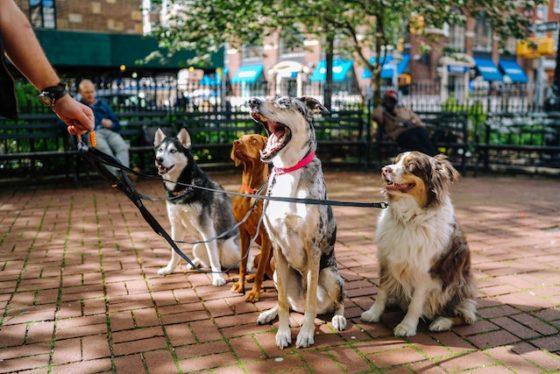 飼い主を見るたくさんの犬たち