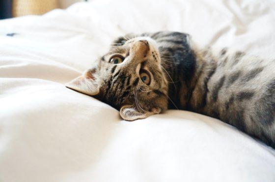 寝っ転がるキジトラ