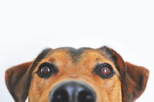 eye drops dog