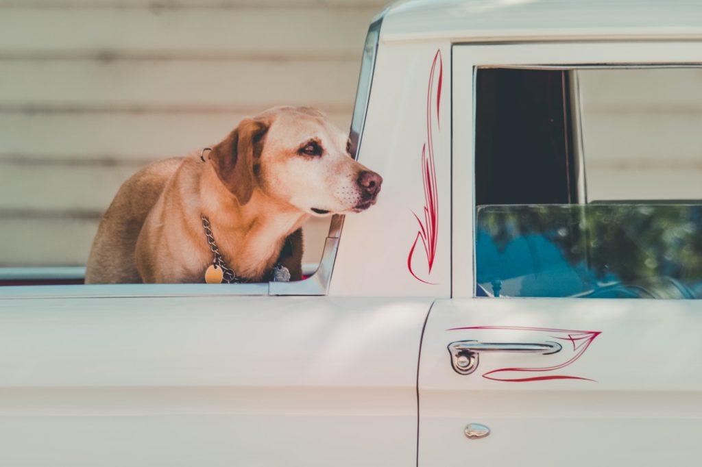 トラックの荷台で移動するレトリーバー