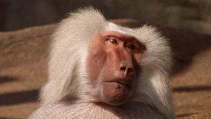 baboon-monkey
