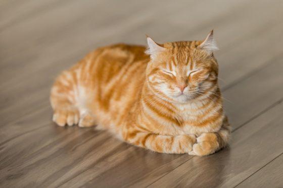 目を細め香箱座りする茶トラ猫