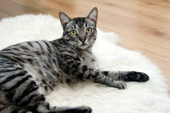 綺麗な毛並みの猫