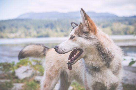 ハスキーっぽい犬