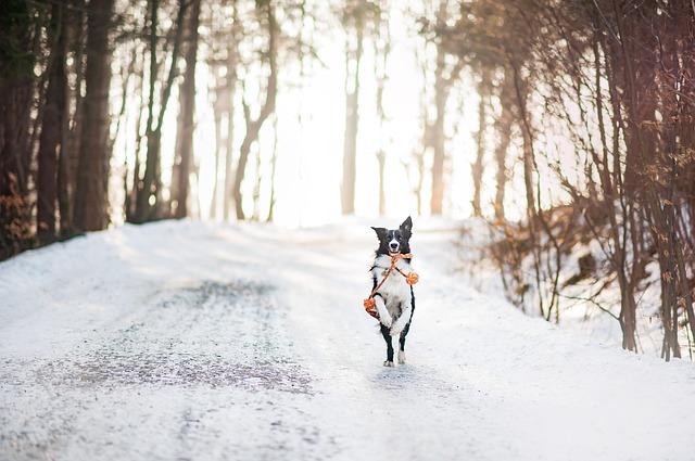 雪道を走る犬