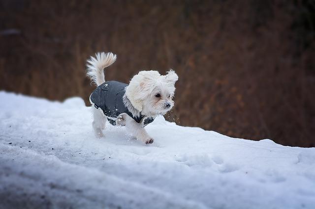 雪の上を歩く犬