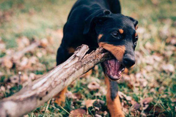 木を噛む犬
