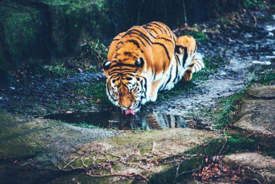 水を飲むトラ