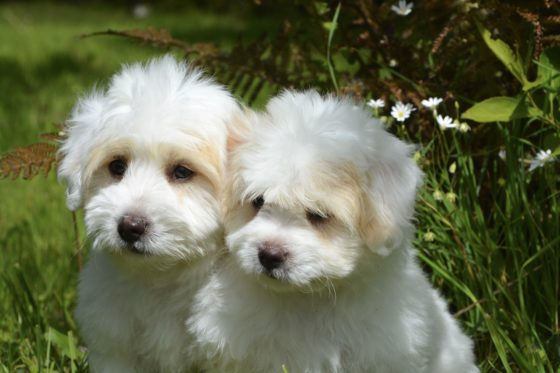 白い犬2匹